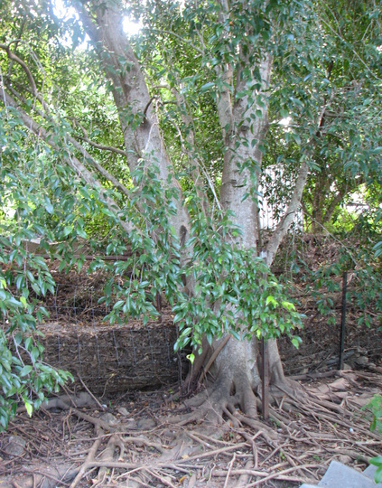 Weeping fig tree (Ficus benjamina (Weeping fig))