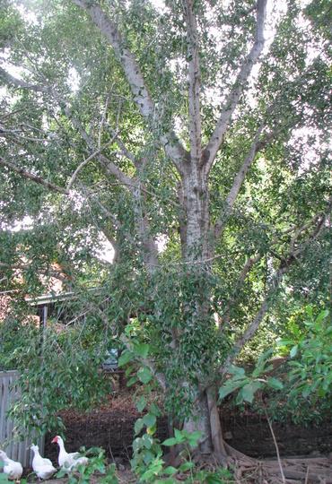 Weeping fig tree (Ficus benjamina (Weeping fig))