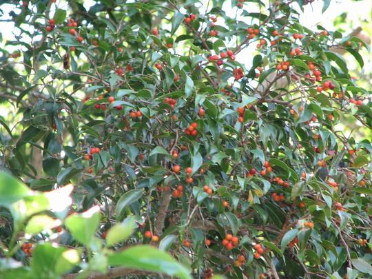 Weeping fig tree fruit (Ficus benjamina (Weeping fig))
