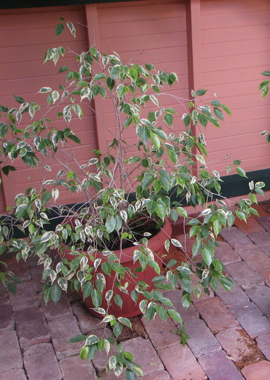 Variegated weeping fig tree - as a pot plant (Ficus benjamina (Weeping fig))