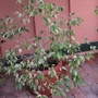 Weeping_fig_variegated_2