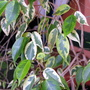 Weeping_fig_variegated