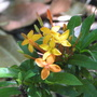 Ixora (Ixora coccinea (Flame of the Wood))