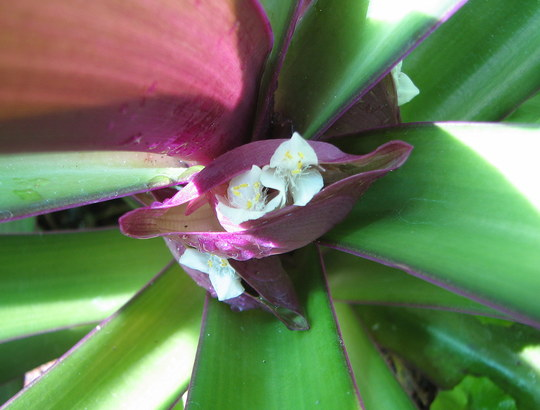 Moses-in-a-basket flowers - close-up (Tradescantia spathacea (Boat lily))