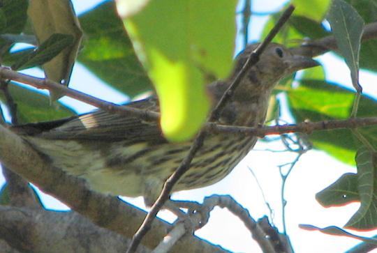 Figbird - Sphecotheres viridis - female