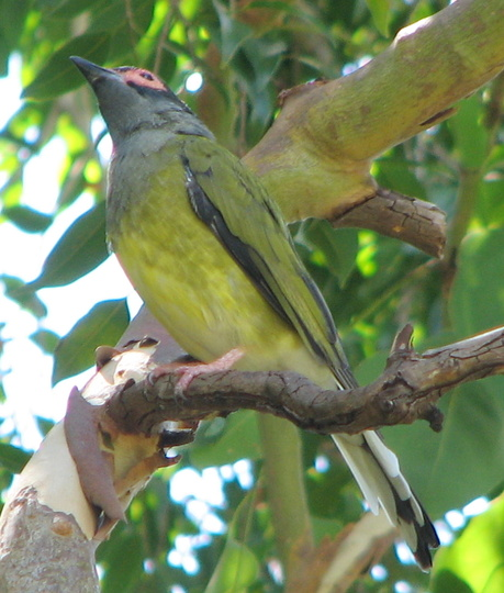Yellow figbird - Sphecotheres viridis - male