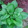 Green leaf hosta with acer behind.