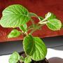 Shooky - 13th day (Actinidia deliciosa (Kiwi fruit))
