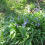 early bluebells along the track at the back of the house