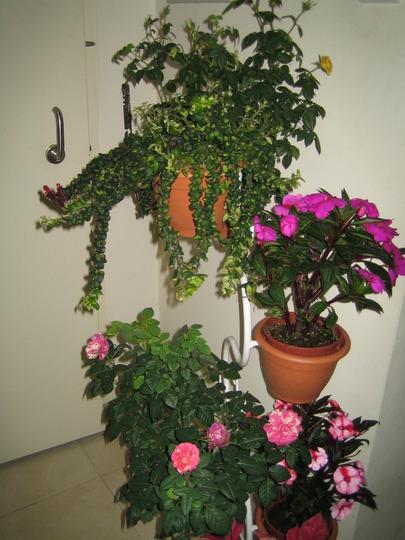roses, impatiens, Aeschynanthus Lipstick and poinsettia (Impatien)