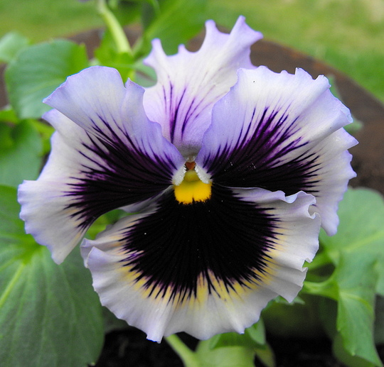 Pansy In Barrow