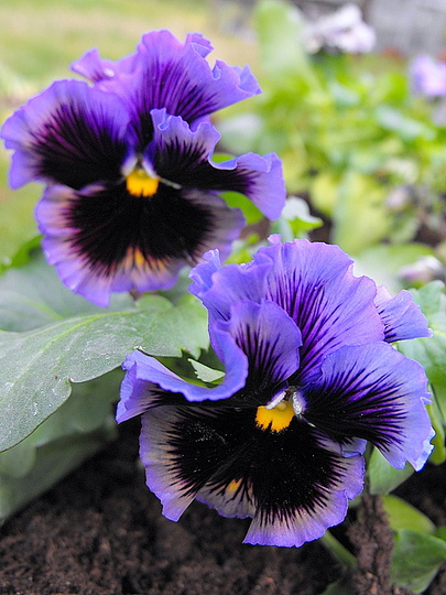 Pansies In Barrow