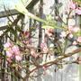 Peach_blossom_09