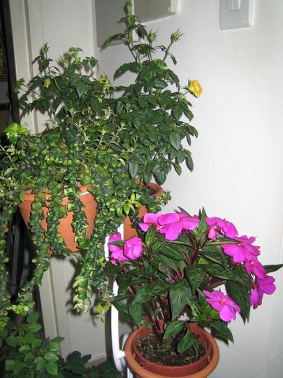 Lipstick plant (Aeschynanthus lipstick)