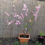 Ornamental Plum