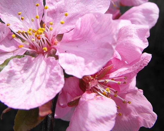 Oranmental Plum Blossom