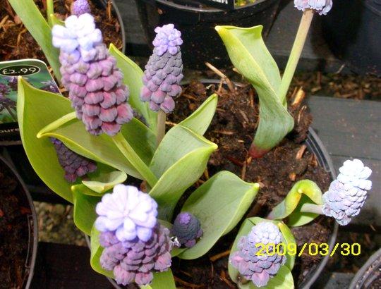 Grape Hyacinth Two- Toned (Muscari)
