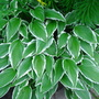 White edged hosta.