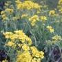 Alyssum saxatilis (Alyssum saxatilis)