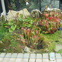 Carnivorous plants at Kew