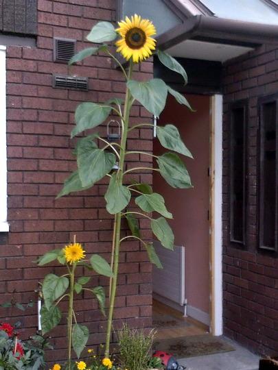 Giganteus Sunflower  Flowers And Bulbs  Veseys