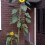 Sunflower_russiangiant