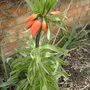 Fritillaria Crown Imperial (Fritillaria imperialis (Crown Imperial))