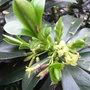 Daphne pontica hybrid - 2009 (Daphne pontica hybrid)