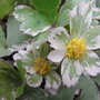 'Thor Svantesson' is the rare variegated form (Hacquetia epipactis)