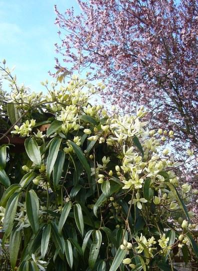 Pergola in my back garden ~ Clematis armandii