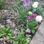 Primula_denticulata_group_2009