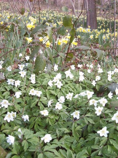 Wood anemones & wild daffs
