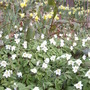Wood anemones & wild daffs