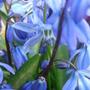 Scilla siberica - March 2009 (Scilla siberica)