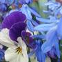 Scilla siberica & violas - March 2009 (Scilla siberica)