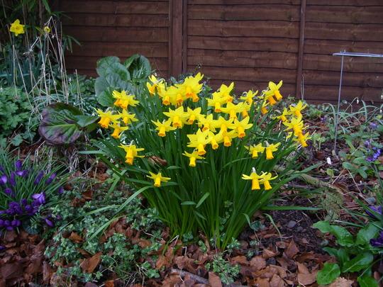 Jet fire (Narcissus cyclamineus (Cyclamen-flowered daffodil))