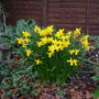 Jet fire (Narcissus cyclamineus (Cyclamen-flowered daffodil))