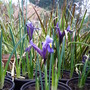unknow iris (Iris reticulata 'Harmony')