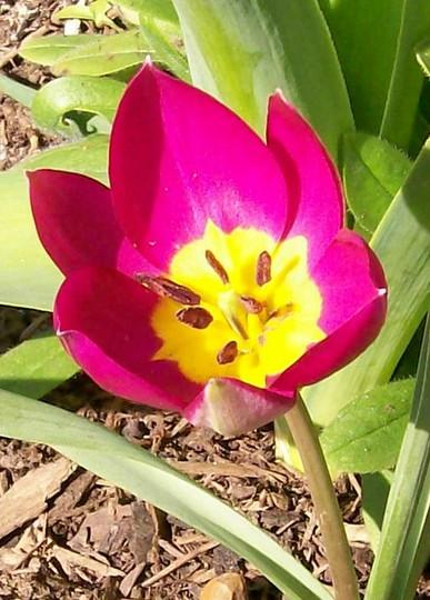 Tulip violacea.... (Tulipa violacea)