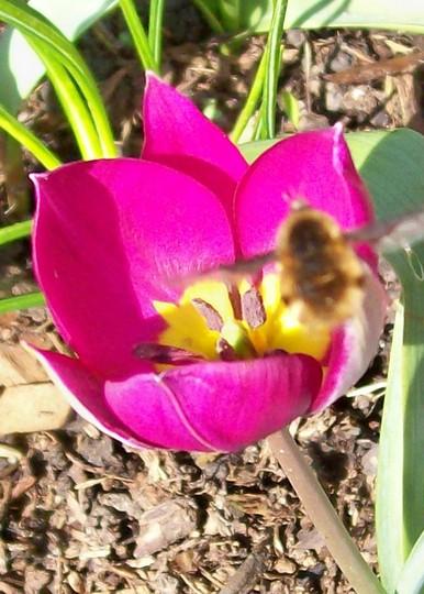 Tulip violacea (Tulipa violacea)