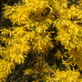 just how much blossom can a stem hold (forsythia)