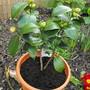 Camellia BudsOpening