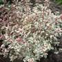 Thymus_worfield_gardens_