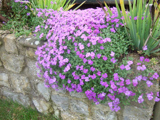 Aubrieta on a wall