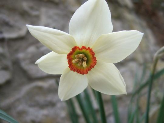 Narcissus poeticus (Narcissus poeticus (Poet's Daffodil))