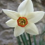 Narcissus poeticus (Narcissus poeticus (Poet&#x27;s Daffodil))