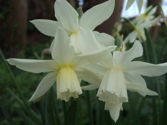Narcissus 'Thalia' (Narcissus 'Thalia')