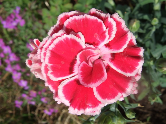 Dianthus 'Olympic' (Dianthus 'Olympic')
