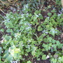 brunnera (Brunnera macrophylla (Brunnera))