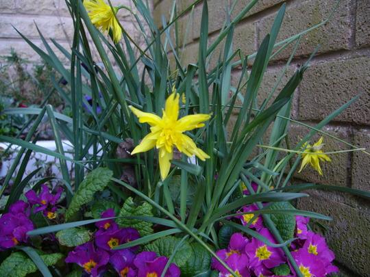 Rip Van Winkle (Narcissus pumilus Rip van Winkle)